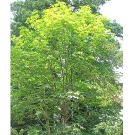 Bigleaf Maple Tree Seeds Acer Macrophyllum 25 Seeds Walmartcom
