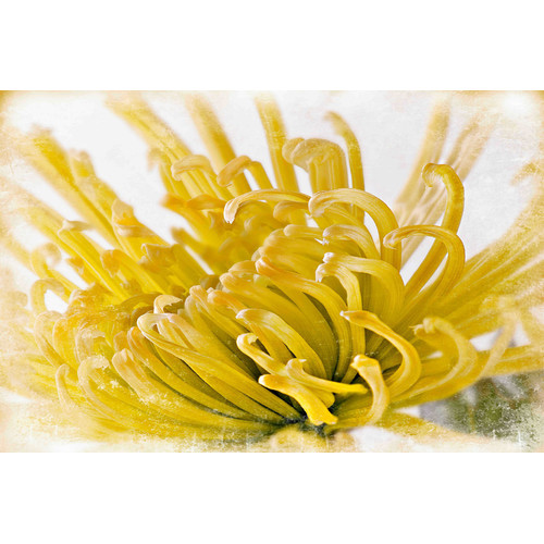 Marmont Hill 'Chrysanthemum' by Sia Aryai Painting Print on Wrapped Canvas