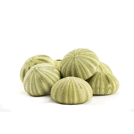 Sea Urchin | 8 Green Sea Urchin Shell | 8 Green Sea Urchin Shells for Craft and Decor | Nautical Crush Trading TM