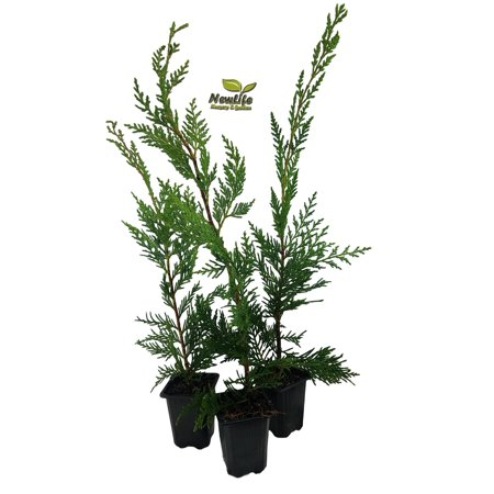 ( 3 ) - Leyland Cypress Trees - 3 inch Pot ( Pack of 3 ) (Cypress Spiral Tree)