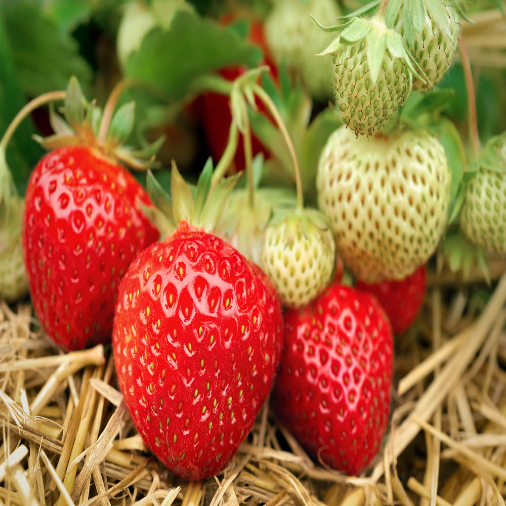 Seascape Beauty Everbearing 25 Live Strawberry Plants, NON GMO,