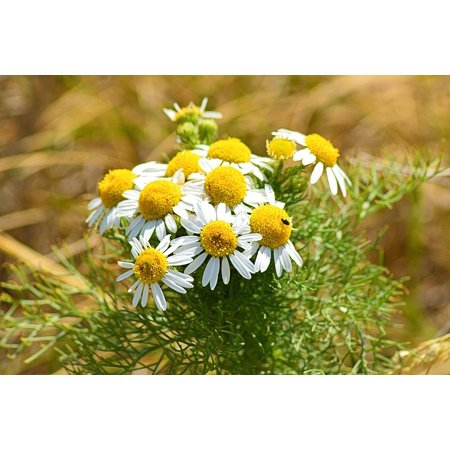 - Laminated Poster Edge of Field Chamomile Blossoms Chamomile Poster Print 11 x 17