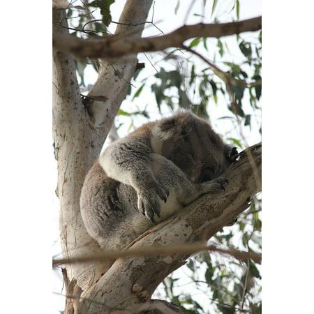 Canvas Print Sweet Bear Adorable Sleep Nap Teddy Cute Koala Stretched Canvas 10 x 14
