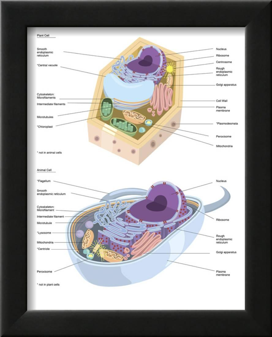 59a4cf269770 Comparative Illustration of Plant and Animal Cell Anatomy (With Labels)  Framed Print Wall Art - Walmart.com
