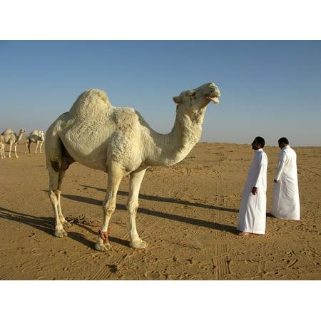 LAMINATED POSTER Desert Saudi Arabia Camel Poster Print 24 x 36