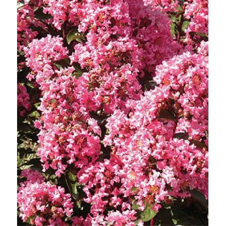 Crape Myrtle (Magic Coral) Plant - 1 Gallon