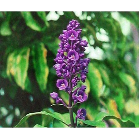 Tropical Plates (Hawaiian Tropical Blue Ginger Plant Root (Pack of 5) Grow)