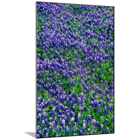 Field of bluebonnets in bloom Spring Willow City Loop Rd. TX Wood Mounted Print Wall Art](Party City Spring Tx)