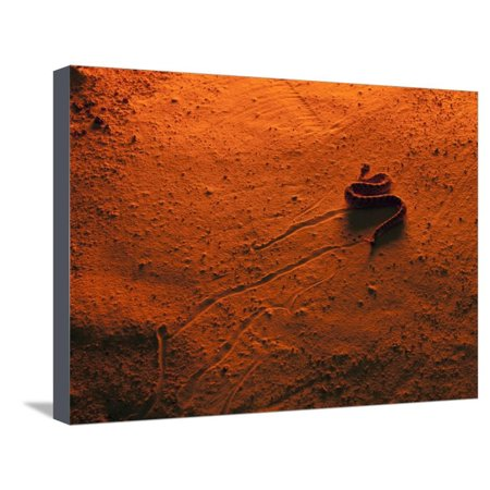 Sidewinder Rattlesnake (Crotalus Cerastes), Side-Winding Locomotion across a Sand Dune at Sunset Stretched Canvas Print Wall Art By Joe (Best Side By Side For Sand Dunes)