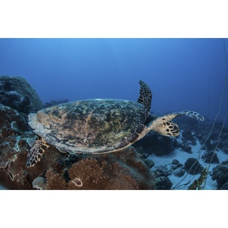 A hawksbill sea turtle swims over a coral reef in Palau This is an endangered species often hunted for its shell and meat Poster
