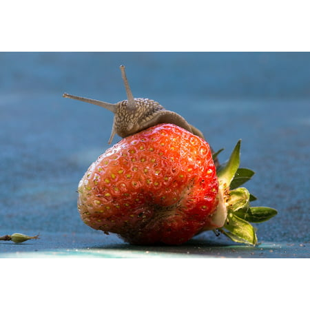 Laminated Poster Eat Strawberry Shell Food Fruit Nature Snail Poster Print 24 x 36 - Slimy Foods For Halloween