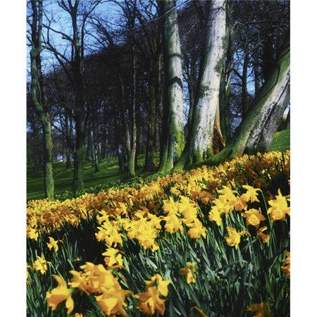 Daffodils Narcissus - Flowers in a Forest Poster Print by The Irish Image Collection, 13 x 16 - image 1 of 1