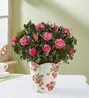 1-800-Flowers: Fresh Flowers - Classic Budding Rose Small