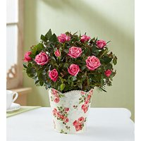1800Flowers Classic Pink Rose Plant in Floral Planter (Small)