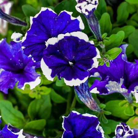 Petunia - Hulahoop Series Flower Garden Seed - 1000 Pelleted Seeds - Blue Blooms - Annual Flowers - Single Grandiflora Hula Hoop Petunias
