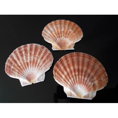 3 Irish Flat Scallops Shells Seashells Extra Large 5