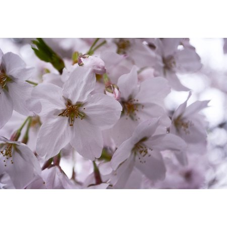 Laminated poster cherry spring spring flowers japan poster 24x16 laminated poster cherry spring spring flowers japan poster 24x16 adhesive decal mightylinksfo
