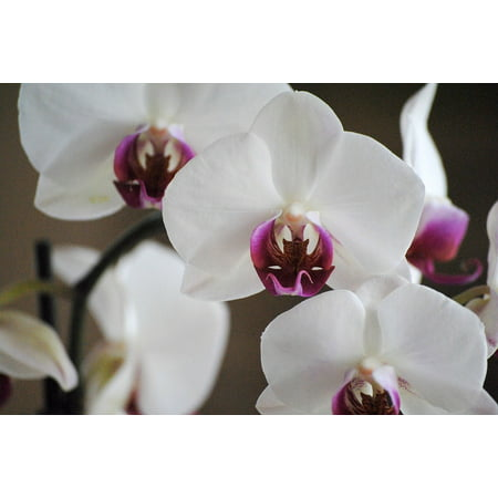 LAMINATED POSTER White Bloom Petal Tropical Nature Flower Orchids Poster Print 24 x - Tropical Flower
