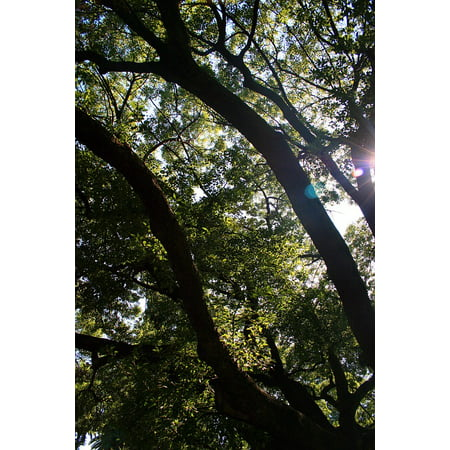 Large Oak Tree (LAMINATED POSTER Sun Focus Oak Large Spread Out Tree Oak Tree Poster Print 24 x 36 )