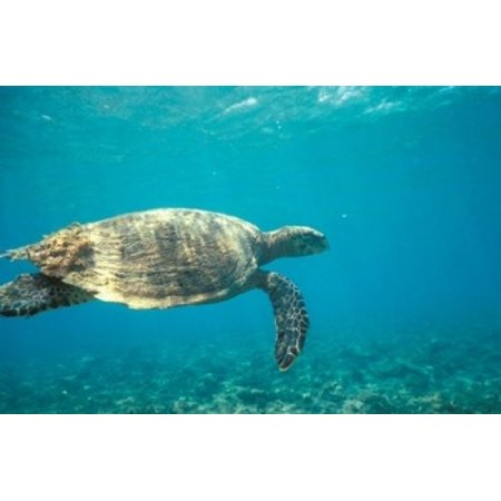 Hawksbill Turtle Mayotte Island Comoros Africa Canvas Art - Pete Oxford DanitaDelimont (24 x 15)