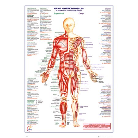 Human Body Major Anterior Muscles Poster Print (24 x 36)