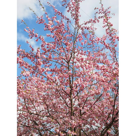 Laminated Poster Japanese Cherry Trees Tree Flower Tree Pink Flowers