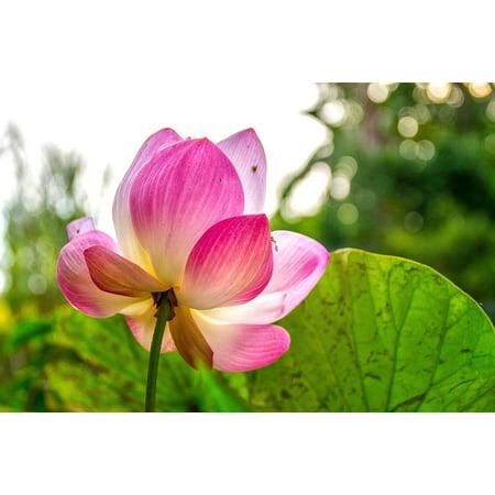 Backlit Pin (Canvas Print Lotus Backlit Pink Bua Ban Stretched Canvas 10 x 14 )