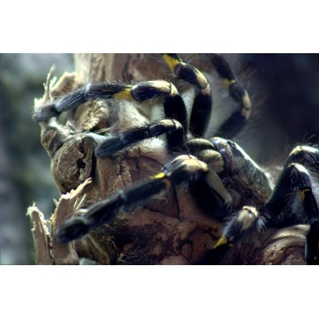 LAMINATED POSTER Poecilotheria Spider Tree Tarantula Tarantula Poster Print 24 x 36 (Spider Tarantula)