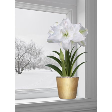 EuroBlooms Amaryllis Marquis - Prepotted ()