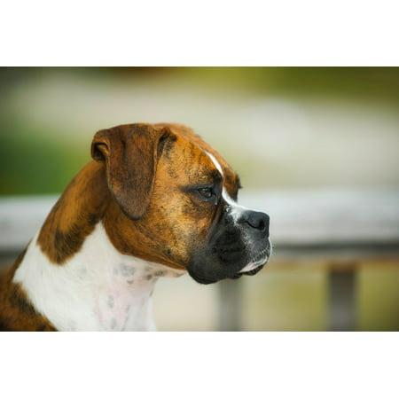 Canvas Print Profile Boxer Animal Macro Pet Dog Closeup Stretched Canvas 10 x 14