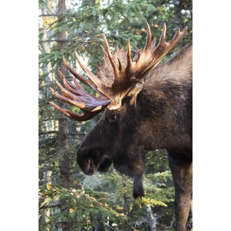Bull moose with antlers standing beside trees in a forest South-central Alaska Alaska United States of America Poster Print by Doug Lindstrand  Design