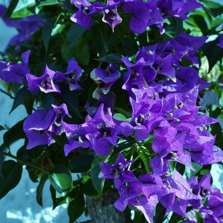 Laminated Poster Purple Garden Bougainvillea Flowering Shrub Flower Poster Print 11 x