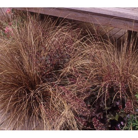 Rooster Pot - Red Rooster Ornamental Grass - Quart Pot - Carex/Sedge