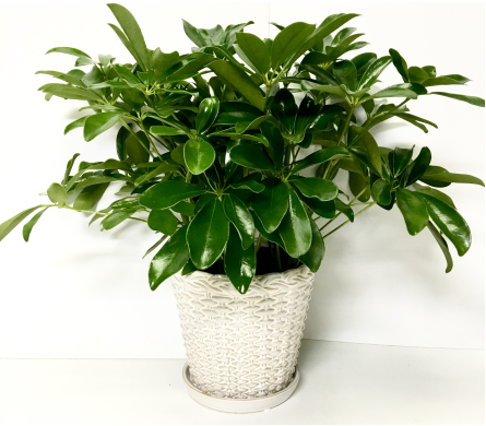 Image of Arboricola In 6 Inch Pot