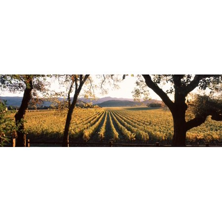 Vines in a vineyard Far Niente Winery Napa Valley California USA Canvas Art - Panoramic Images (12 x (Far Niente Napa Valley)