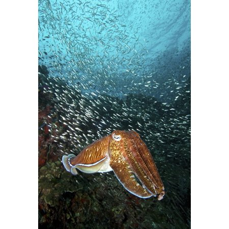 Natures Image Reef Rock (Pharao cuttlefish on a healthy reef at Richelieu Rock Thailand Poster Print by VWPicsStocktrek Images)