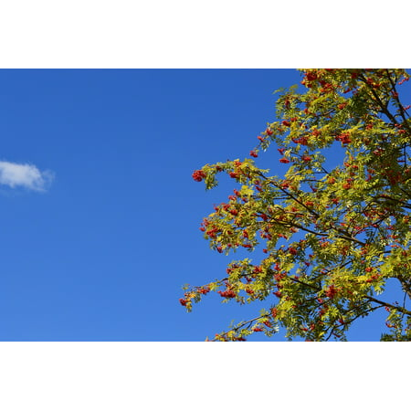 Laminated Poster Berry Red Leaves Sky Summer Rowan Branch Fruit Poster Print 11 x 17](Roman Leaves)
