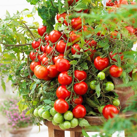 Rdeghly 100pcs Red Color Tomato Seeds Potted Bonsai Balcony Fruit Vegetables Garden Balcony Decoration, Tomato Fruit Seeds, Fruit Seeds - image 4 of 7