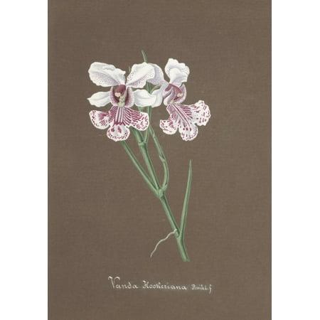 Collection Dorchide C1900 Vanda Hookeriana Canvas Art   Unknown  18 X 24
