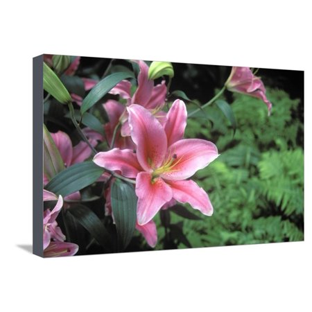 Oriental Lily, New York Botanical Gardens, Bronx, New York, USA Stretched Canvas Print Wall Art By Peter
