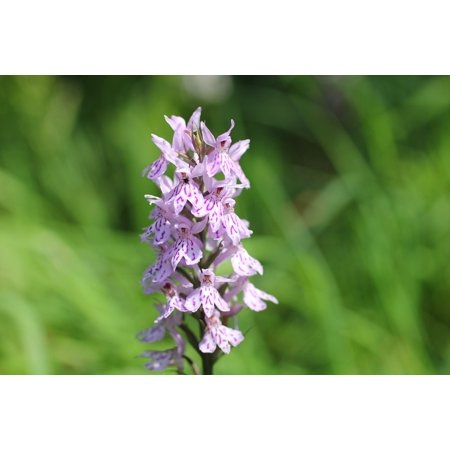 LAMINATED POSTER Widlblume White Purple Heath Spotted Orchid Orchid Poster Print 24 x 36 Common Spotted Orchid