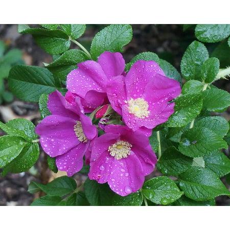 Rugosa Rose (Framed Art for Your Wall Rugosa Rose Blossom Buds Rose Flower Rain-Wet 10x13)