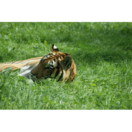 LAMINATED POSTER Green Grass Grass It Lies Tiger Nature Meadow Zoo Poster Print 24 x 36 - Green Tiger Print