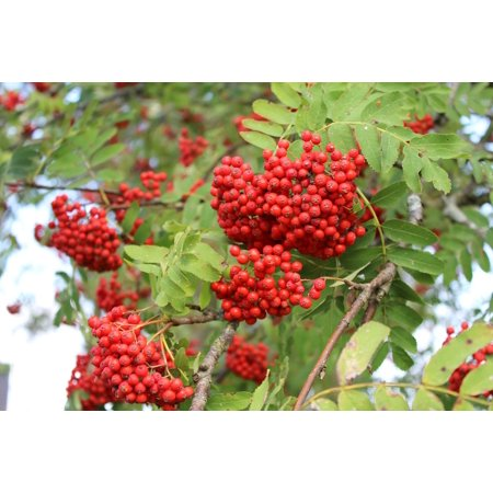Laminated Poster Autumn Red Tree Red Berries Rowan Poster