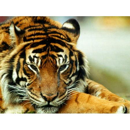 - A Relaxed Tiger at London Zoo, April 1991 Print Wall Art