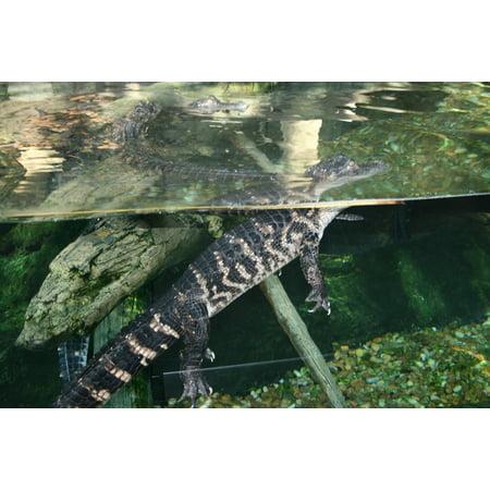 Alligator Aquarium (Canvas Print Alligator Florida American Crocodile Aquarium Stretched Canvas 10 x 14 )
