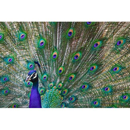 - Canvas de Zoo Bird Peacock Animals Feathers Colorful Stretched Canvas 10 x 14