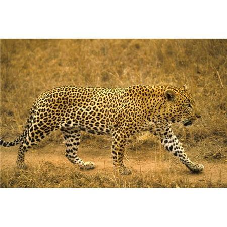 Posterazzi DPI1786503 Male Leopard Poster Print by John Pitcher, 17 x 11 - image 1 de 1