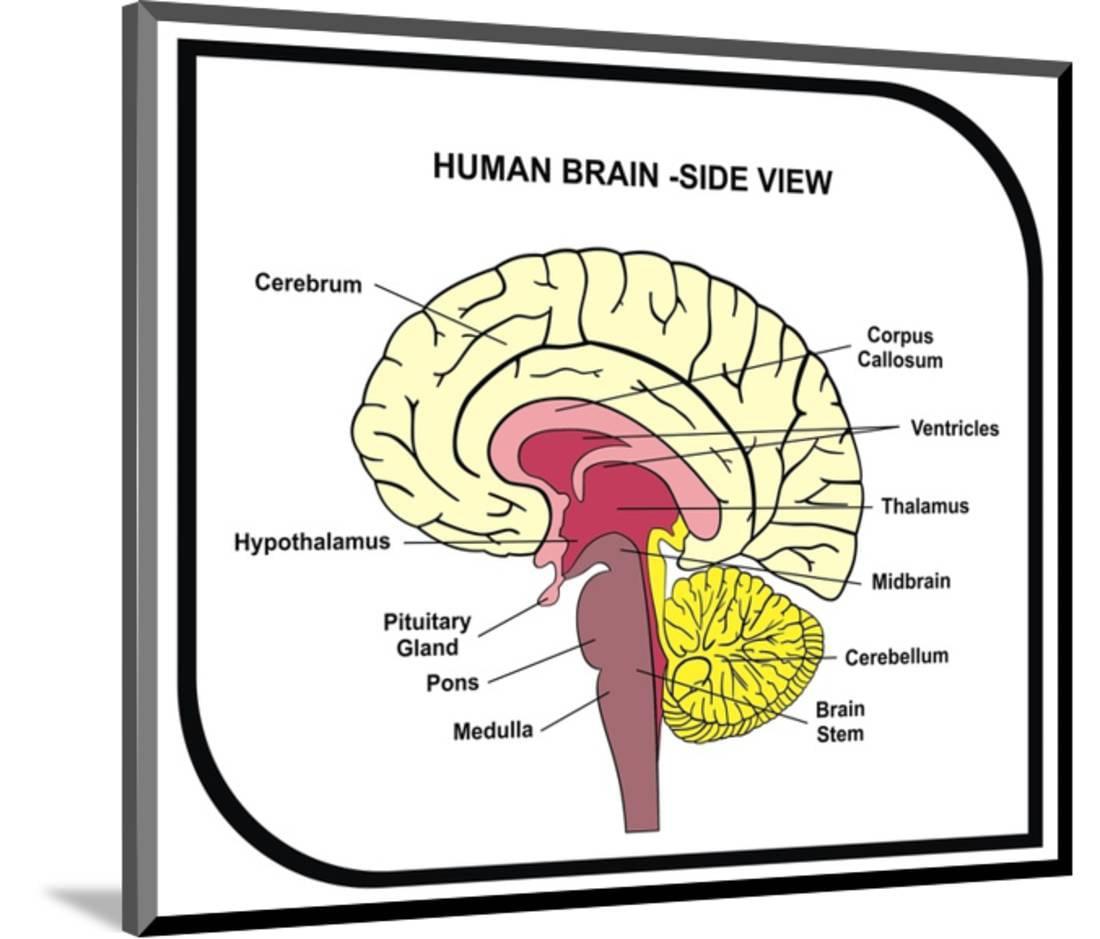Human Brain Diagram Wood Mounted Print Wall Art By Udaix Walmart