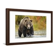 Brown Bear, Katmai National Park, Alaska Wildlife Photo Framed Print Wall Art